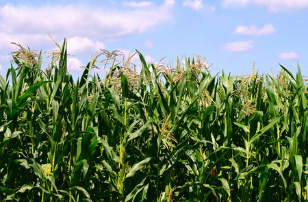 rural economy: Young corn