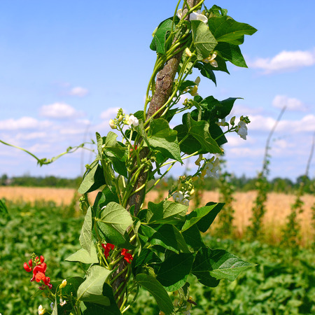 truck crops: Young stalks of a string bean on poles