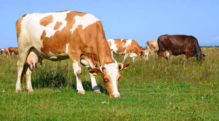 bloodstock: Cows on a summer pasture