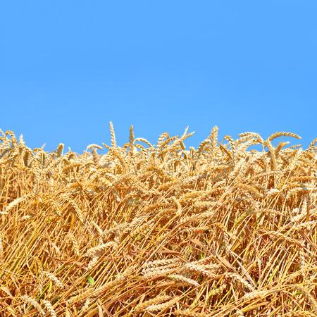 barley head: Grain field