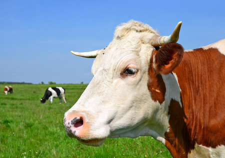 bloodstock: Cow on a summer pasture Stock Photo
