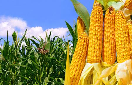 espiga de trigo: Ma�z joven