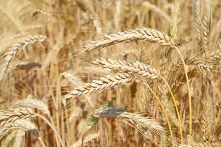 cosecha de trigo: Grano de campo