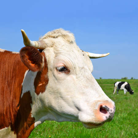 bevy: Head of a cow against a pasture Stock Photo