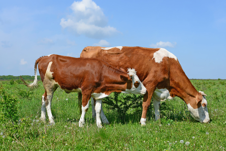 offshoot: The calf near mother on a summer pasture.