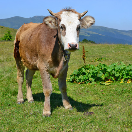 offshoot: The calf on a summer mountain pasture Stock Photo
