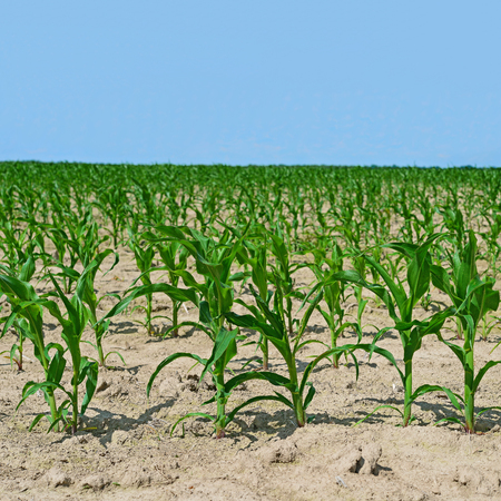 corn field: Corn field with young shoots