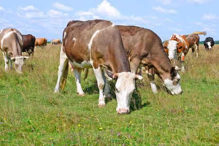 bevy: Cows on a summer pasture