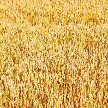 winter wheat: Grain field