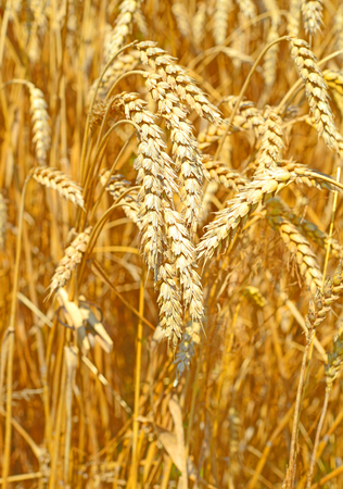 barley head: Grain field.