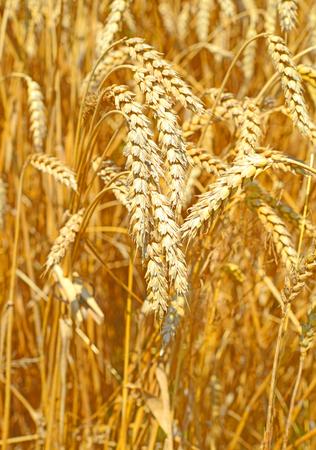fodder corn: Grain field.