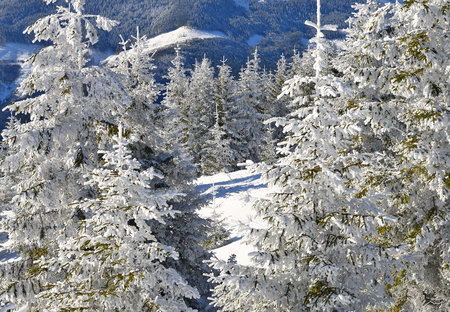 abetos: Firs  under snow