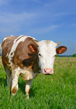 posterity: The calf on a summer pasture