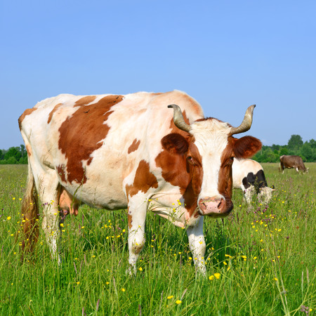 bevy: Cow on a summer pasture Stock Photo