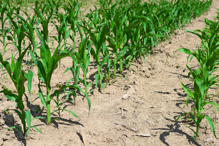 shoots: Corn field with young shoots