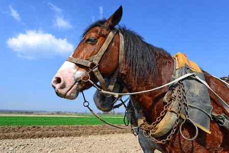 livestock sector: Head of a horse in a harness against a spring field.