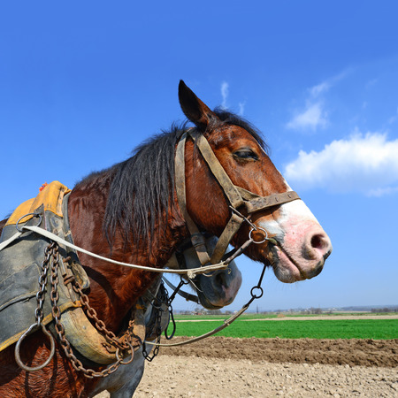 cartage: Head of a horse in a harness against a spring field