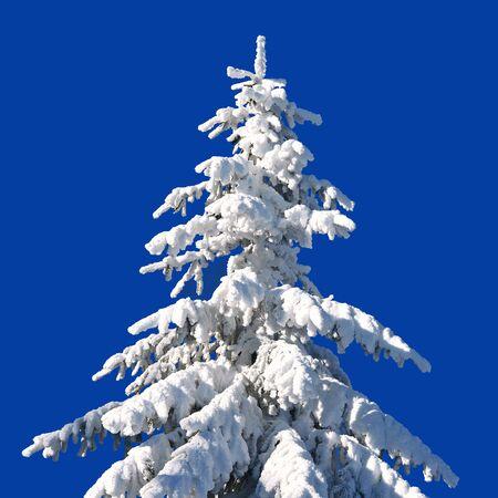 sapin: Sapin sous la neige Banque d'images