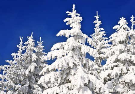abetos: Abetos bajo la nieve