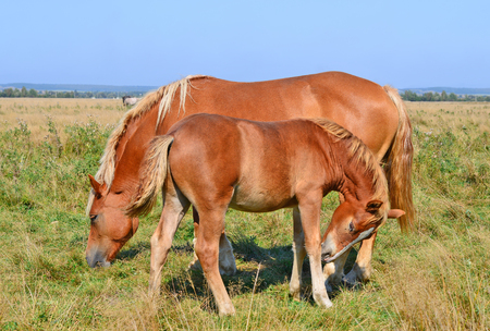 mare: Foal with a mare on a summer pasture Stock Photo