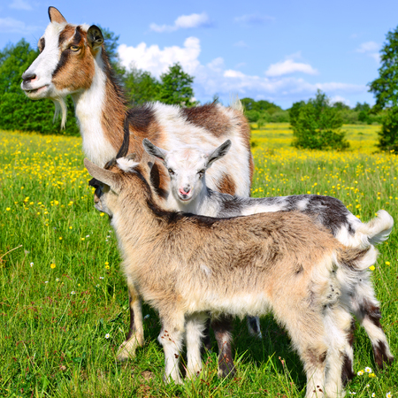 bevy: Goat with kids on summer pasture