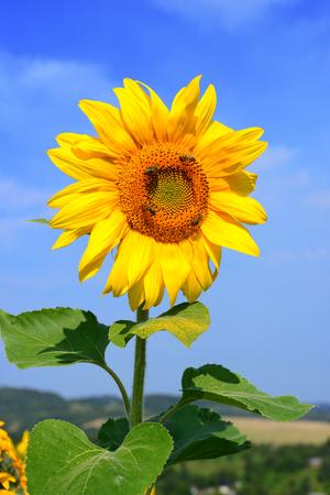 yielding: Sunflower