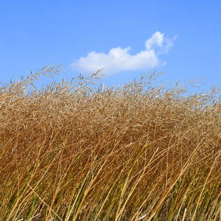 yielding: Field of ripe rape