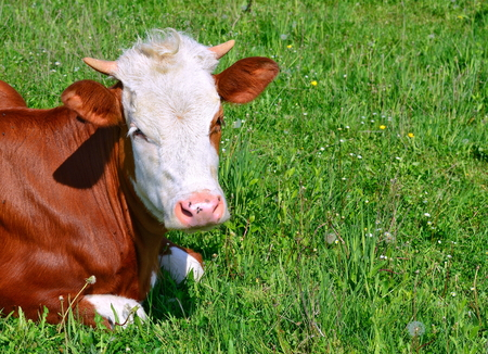 heifers: Cow on a summer pasture Stock Photo