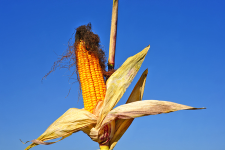 ripe: Ripe corn.
