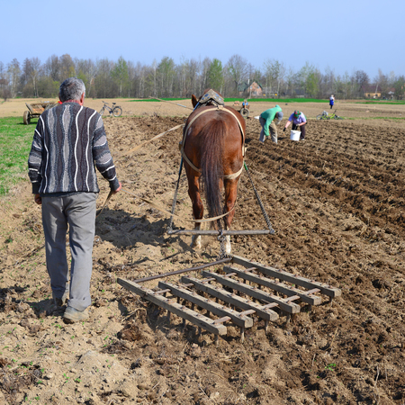 livestock sector: At planting potatoes Stock Photo