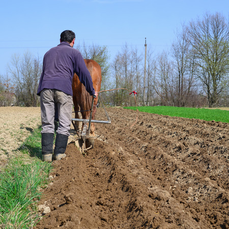 horse traction: At planting potatoes Stock Photo