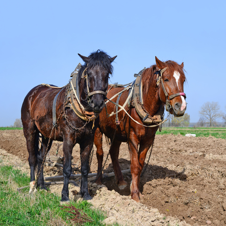 draught horse: Horses on a spring field
