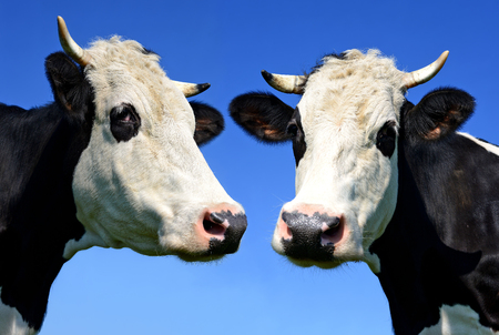 bloodstock: Heads of cows against the sky Stock Photo