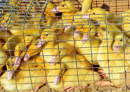 coop: Duckling in coop.