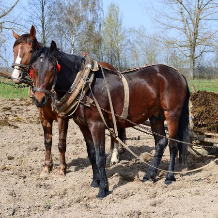 cartage: Horses on a spring field