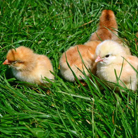 grassy plot: Chickens on the first outing