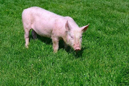 bloodstock: Small pig on a green grass