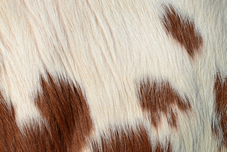 wool rugs: Fragment of a skin of a cow Stock Photo