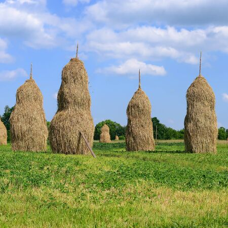 haymaking: Hay in stacks. Stock Photo