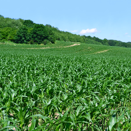 arable farming: Corn field with young shoots