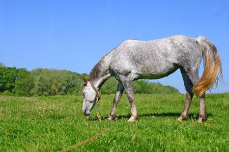 steeplechaser: Horse on a summer pasture