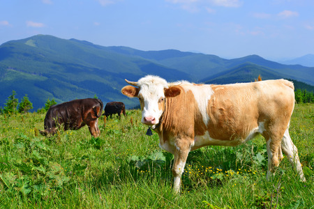 livestock sector: The calf on a summer pasture in the Carpathian Mountains