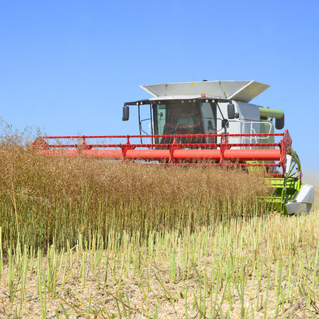 rural economy: Modern combine harvesting of rape