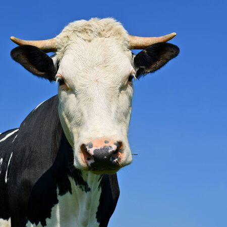 bevy: Head of a cow against the sky Stock Photo