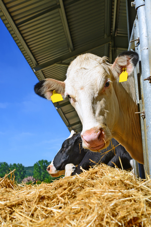 milker: Cows under a canopy. Breakfast on a dairy farm Stock Photo