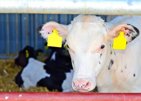 livestock sector: Calves under a canopy