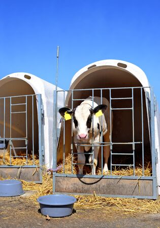 bloodstock: Calves on a dairy farm Stock Photo