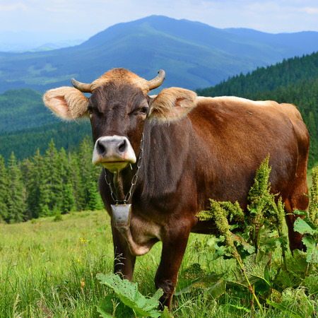 milker: Cow on a summer pasture in the Carpathian Mountains