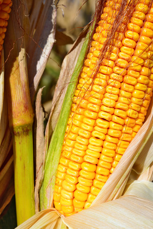 ripe: Ripe corn