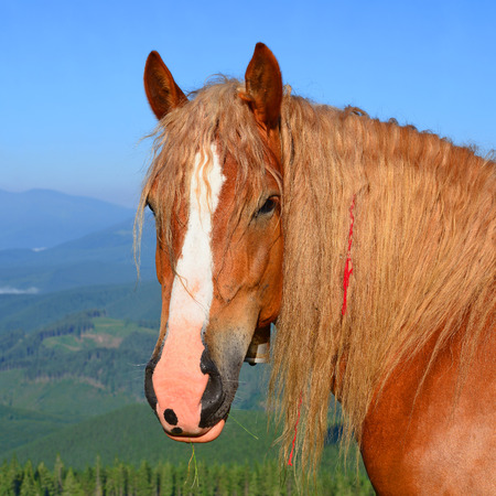 livestock sector: Horse on a summer pasture in the Carpathian Mountains Stock Photo